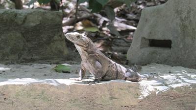 Iguane à Tulum, riviera maya