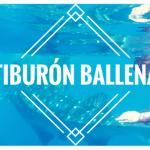 Nado con el Tiburón Ballena, la experiencia increíble