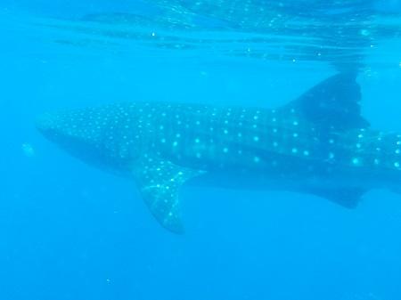 L'incroyable requin-baleine