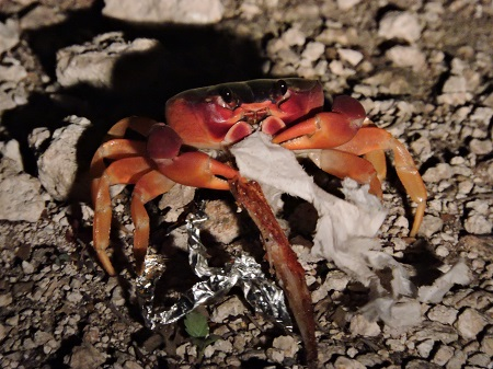 Crabe isla mujeres