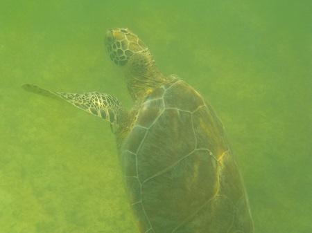 tortue plage akumal mexique