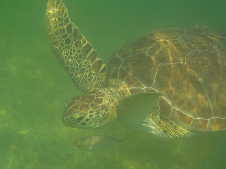 tortues nage plage